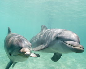 Dolphins at Sea 'Greet' Each Other