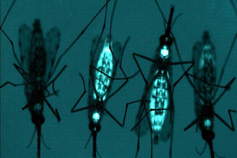 Genetically Engineered Mosquitoes released into the wild