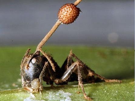 Exotic Fungus Creates Zombie Ants